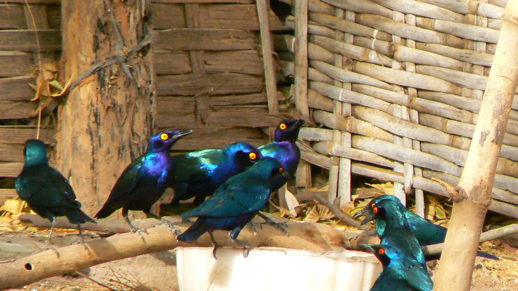 Purple glossy starlings.