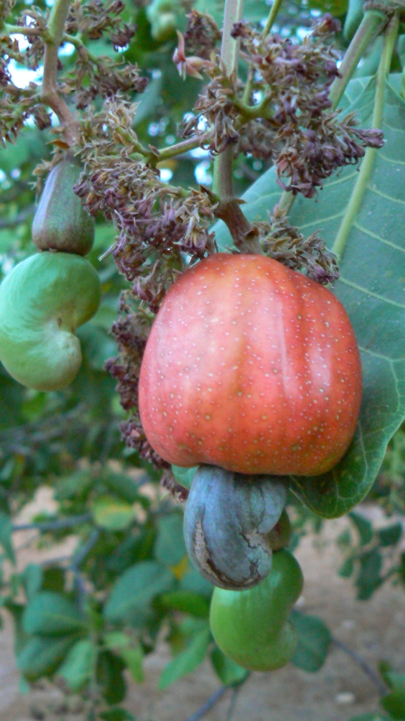 THIS is where cashew nuts come from. The top bit is a cashew apple, with a sweet tangy juice and a strange rubbery texture.